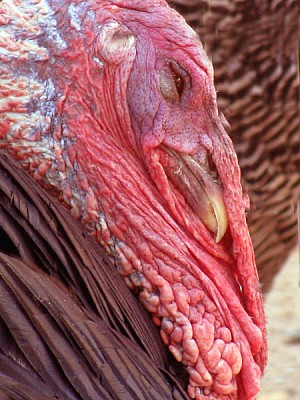 free images  animal, animals, farm, front view, texture, red, b