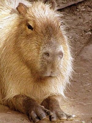 free images  animal, animals, rodent, typical, Argentina, capyb