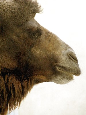 free images  animal, animals, wildlife, wild camel, dromedary,