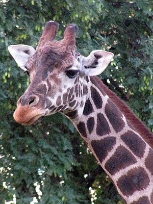 free images  animal, animal head, front view giraffe neck, nobo