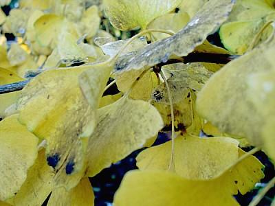 leaf, leaves, close-up, autumn, tree, trees, backg