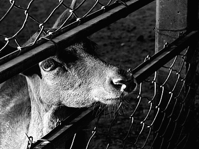 free images  black and white, animal, animals, farm, farms, fro