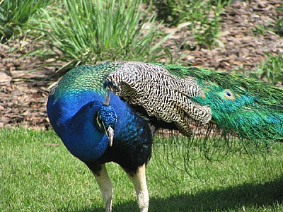 free images  prod06, Bird, Birds, Blue, Colorful, cristatus, Ph