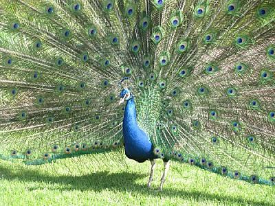 prod06, Bird, Birds, Blue, Colorful, cristatus, Ph