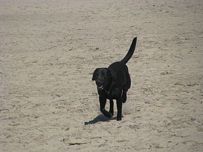 free images  prod06, animal, animals, dog, dogs, black, front v