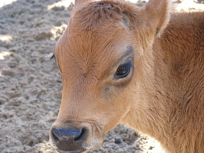 free images  Calf's head
