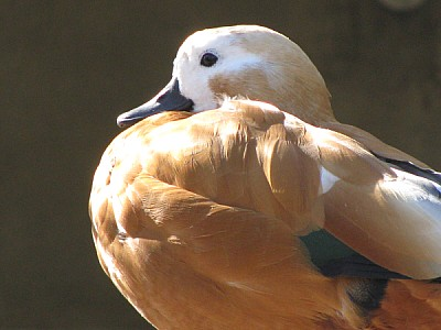 prod06, animal, animals, duck, bird, birds, close-
