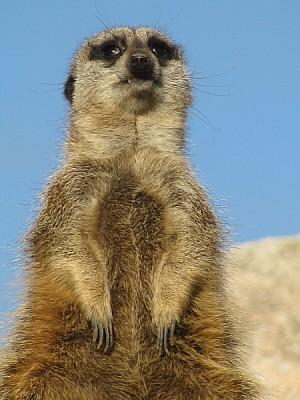 prod06, animal, animals, meerkat, watching, watchi