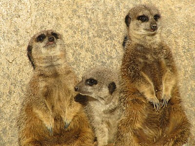 prod06, animal, animals, meerkat, watching, watchi