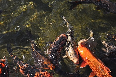 Fish Pesces, fish, pond, lagoon, lake, water, tran