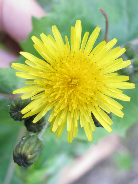 flower, flowers, nature, front view, color, yellow, yellow, front view, close-up, stem,