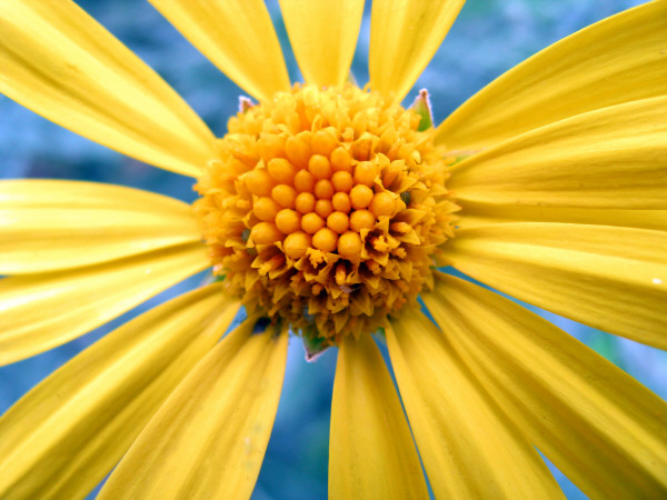flower, flowers, nature, daisy, front view, petal, petals, yellow, yellow, closeup, prod01,