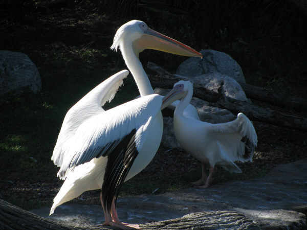 pelican, bird, birds, african, africa, wild, avian, beak, white, animal, animals, wing, wings, exotic, prod05