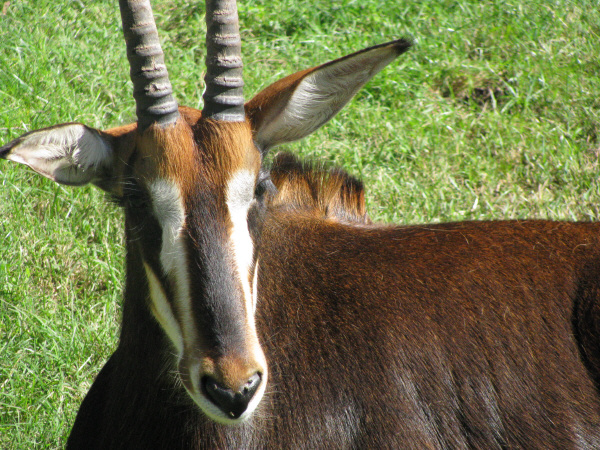 animal, wild, closeup, outdoors, day, exterior, horn, horns, front view, head, prod05