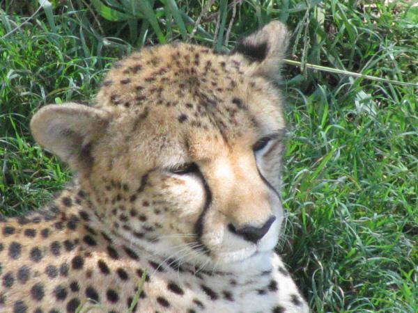 animal, cheetah, cat, wild, closeup, head, calm, nature, wildlife, close-up, day, exterior, prod05