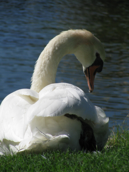animal, bird, white, beak, swan, close, head, front view, nature, wildlife, day, exterior, feather, feathers, swans, prod05