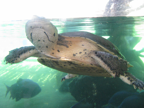 animal, reptile, turtle, claw, claws, fingernail polish, front view, closeup, aquarium, aquatic, aquatic, water, swimming, wildlife, wild, tropical, prod05