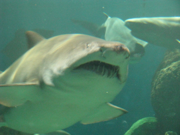 animal, fish, shark, danger, aquarium, out of focus, foreground, predator, front view, marine fauna, prod05