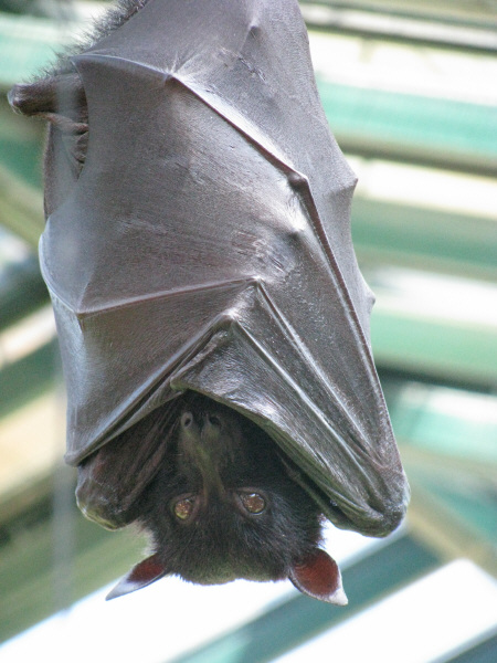 animal, animals, bat, bats, rodent, wing, wings, front view, vampire, vampires, wild, tropical, covered, covered, hide, hide, prod05