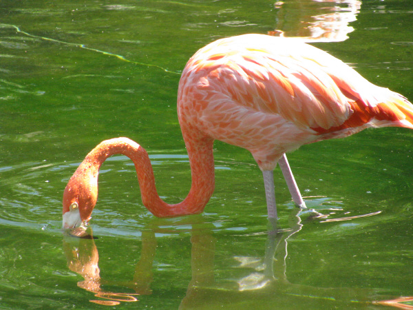 Animal, Animals, Bird, Bird, Head Heads, Color, Neck, Day, Exterior, Exterior, Fauna, Flamingo, Image, No Beak, Feather, Plumage, Pink, Wild, birds, prod05