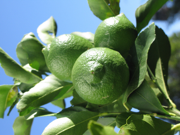 lemon, lemon, lemon, agriculture, front view, close-up, fruit, fruits, tree, plant, plantation, food, acid, food, fresh, prod05