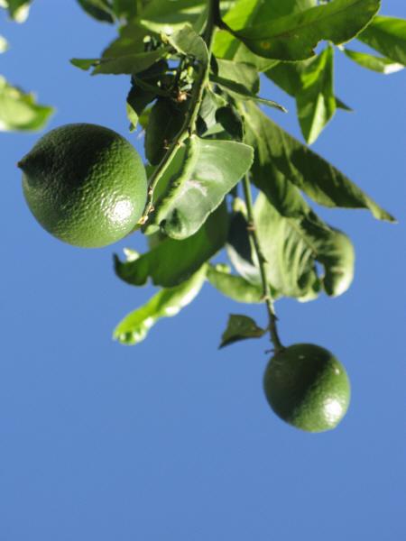 lemon, lemon, lemon, agriculture, front view, close-up, fruit, fruits, tree, plant, plantation, food, acid, food, fresh, prod05
