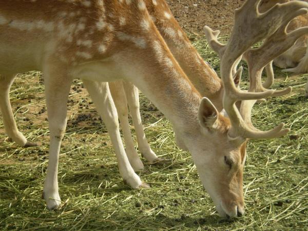 animal, pampa, the oampa, Argentina, deer, front view, eating, eating, horn, horns, wild, deer, Belen Clemant, prod05