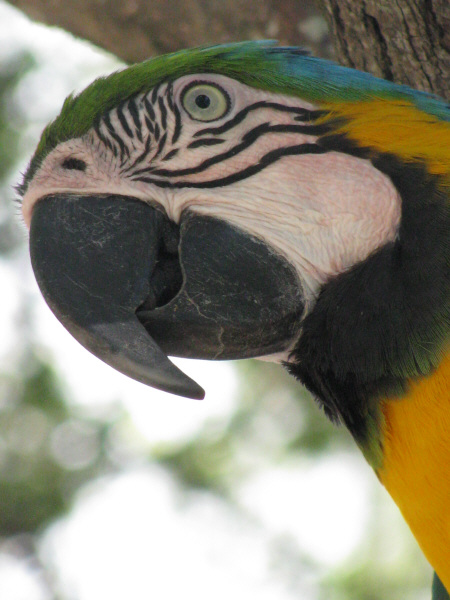animal, animals, wildlife, wild bird, bird, macaw, color, color, front view, feather, feathers, yellow, beak, outdoor, prod05