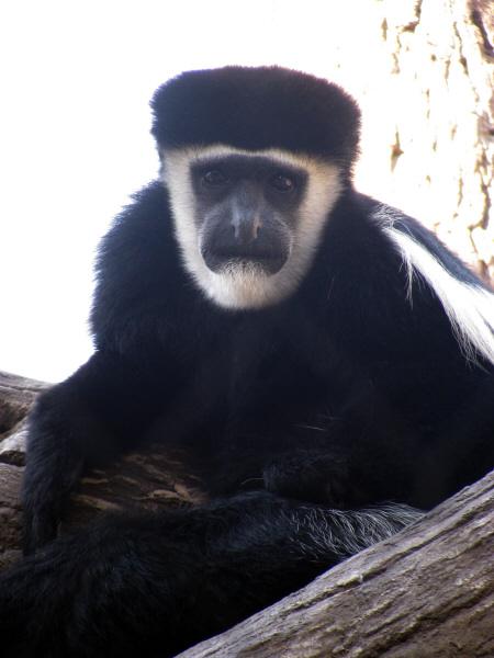 animal, animals, wild, wild, outdoor, monkey, monkey, bonobo, africa, exotic, strange, bizarre, face, faces, closeup, coat, hair, black, prod05