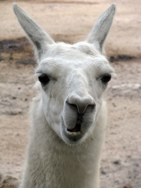 Image Of Animal Llama Wild Andean Front View Exterior