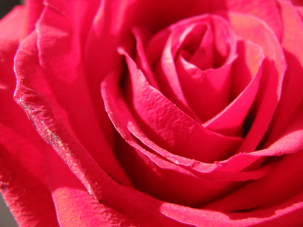 prod06, Aroma, Aromas, Botany, Color, Detail, Details, Daytime, Exterior, Exterior, Flower, Flowers, Flowers, Selective Focus, Fragrance, Fragrance, Fragile, Fragility, Gardening, Nature, Odor, Odor, Perfume, Petal , Petals, Plant, Plants, Close-up, Pink, R